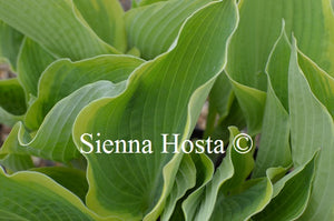 Hosta 'June Moon'