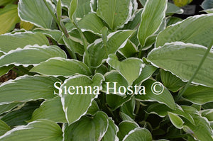 Hosta 'Snow Crust'