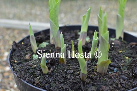 Hosta Kiwi Gold Rush Eyes