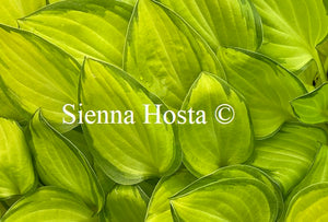 Hosta 'Emerald Tiara'