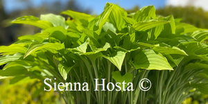 Hosta Lemon Lime