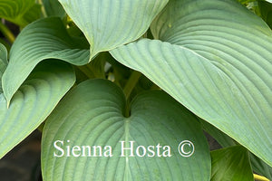 Hosta 'Kingsize'