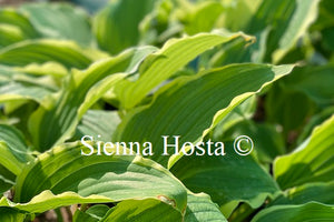 Hosta 'Happy Valley'