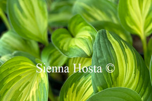 Hosta 'Peppermint Ice'