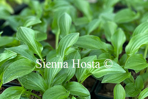 Hosta 'Plug Nickel'