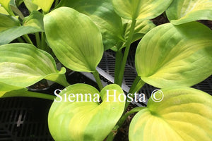 Hosta 'Android'