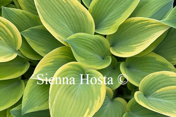 Hosta 'Apple Candy'