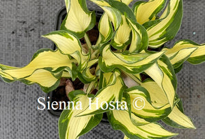 hosta ruffled pole mouse