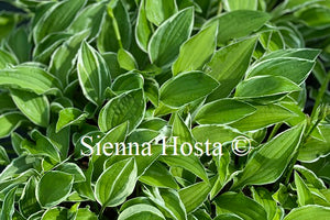 Hosta 'Lime Fizz'