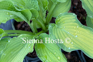 Hosta 'Prairie's Edge'