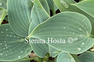 Hosta 'Sherborne Swift'
