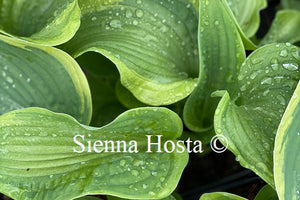 Hosta 'Spartan Glory'