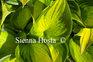 Hosta Orange Star