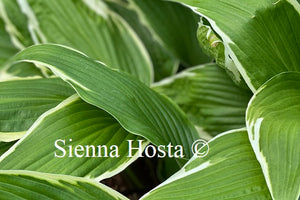 Hosta 'Dragon Warrior'