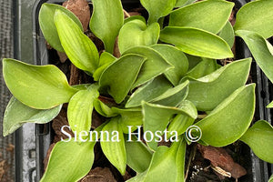 Hosta 'Green Mouse Ears'