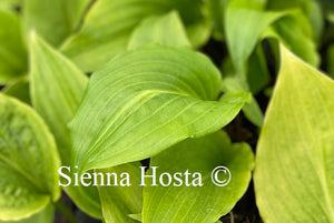 Hosta 'Invincible Spirit'