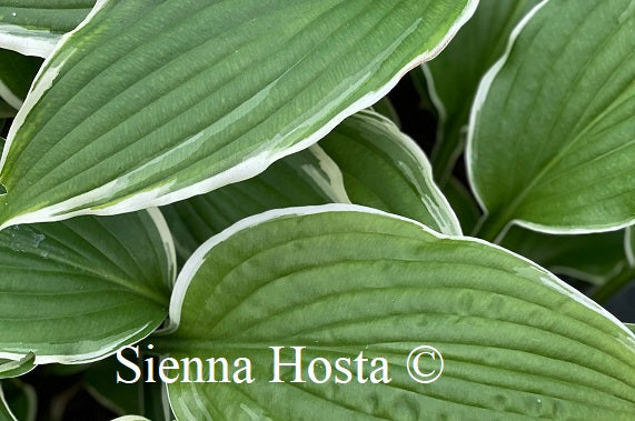 Hosta 'Louie Louie'