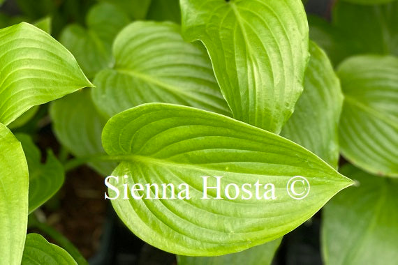 Hosta 'plantaginea'