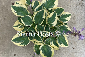 Hosta 'Bedazzled'