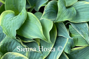 Hosta Blue Flame