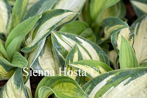 Hosta 'Light of Day'
