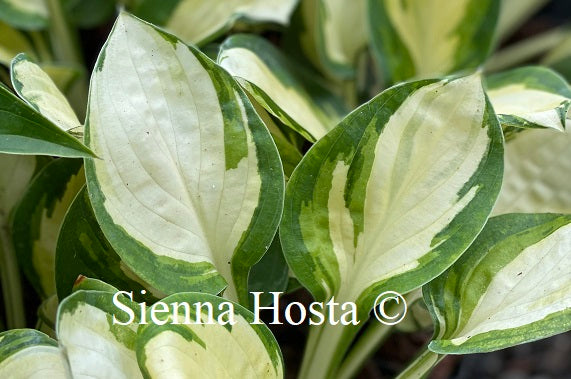 Hosta 'Enchanted Mist'
