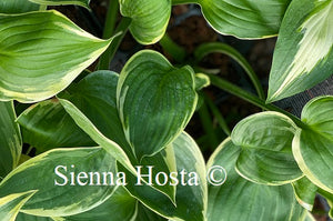 Hosta Night at the Opera
