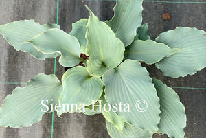 hosta skywriter