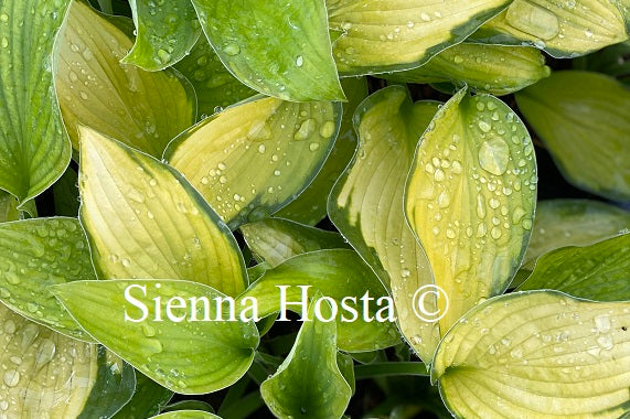 Hosta A Dash of Lemon