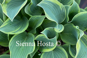 Hosta Clown's Collar