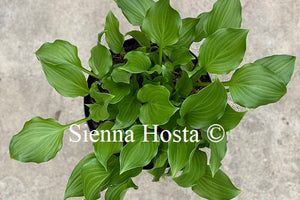 Hosta Rippled Honey