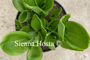 Hosta Uprising