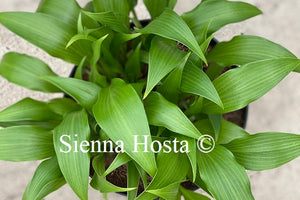 Hosta Wily Willy