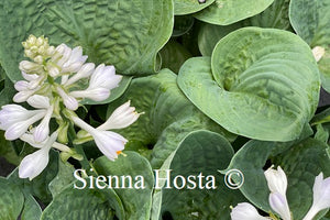 Hosta Heavy Duty