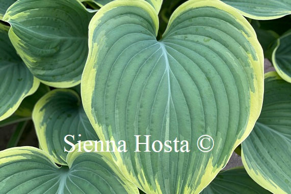 Hosta Majesty