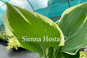 Hosta 'Night at the Opera'