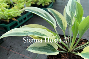 Hosta 'Virginia Reel'