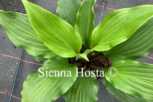 Hosta 'Holar Red Spear'
