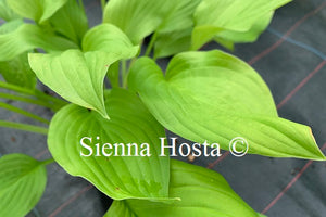 Hosta 'Gold Haze'
