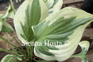 Hosta 'Carry On'