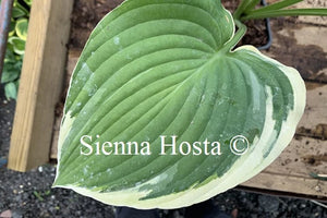 Hosta 'Glacial Towers'