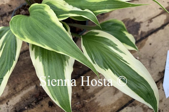 Hosta 'Proud Dragon'