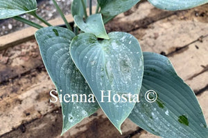 Hosta 'Blue Cherub'