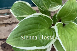 Hosta Bedford Rise and Shine