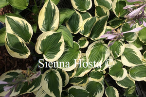 Hosta 'Whirling Dervish'