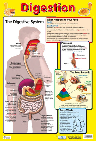 Poster 60cm x 40cm - Digestive System