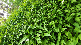 At this time of year Wild garlic is in season and it is everywhere!