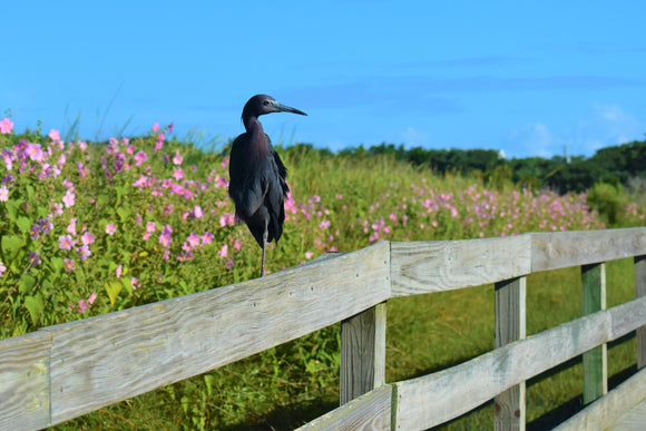 Tri-Colored Heron on Ocracoke Lighthouse Fence