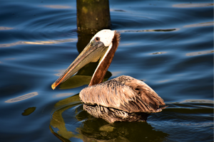 Pelican Swimming on Silver Lake