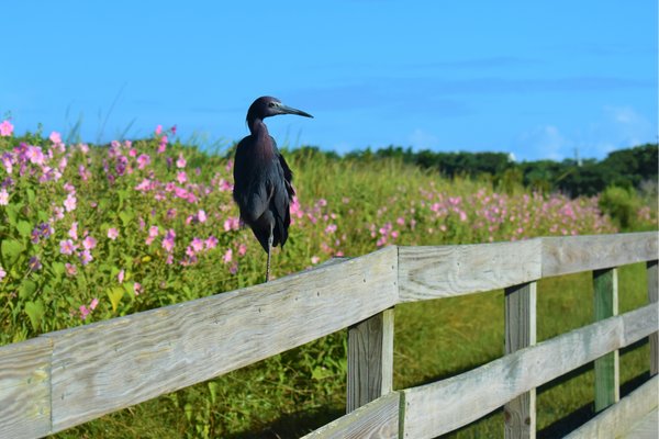 Tricolored Heron on Lighthouse Fence